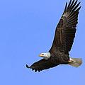 Eagle In Flight by John Absher