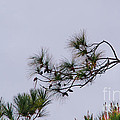 Eagle In The Pines by Scott Hervieux