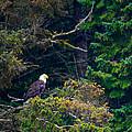 Eagle In Trees  by John  Hannan