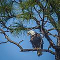 Eagle by Jane Luxton