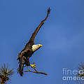 Eagle Nest Building by Barbara Bowen