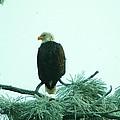 Eagle On A Frozen Pine by Jeff Swan