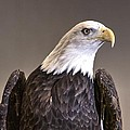Eagle On Watch by John Straton
