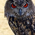 Eagle Owl by Anthony Sacco