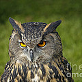 Eagle Owl by Clare Bambers
