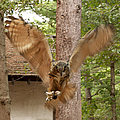 Eagle Owl Makes The Leap by Jeff Folger