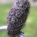 Eagle Owl Watches For Prey by Brenda Kean
