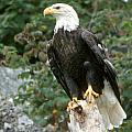 Eagle Perched Atop Stump by Larry Allan