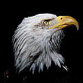 Eagle Portrait II by Athena Mckinzie