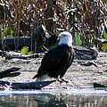 Eagle Posing By Water by Michael Waisner