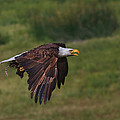 Eagle With Prey by Beth Sargent