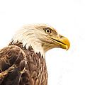 Eagle With Prey Spied by Douglas Barnett