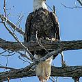 Eagle7 by Safe Haven Photography Northwest