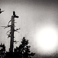 Eagles And Old Tree In Sunset Silhouette by Peter v Quenter
