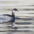 Eared Grebe by Dianne Phelps