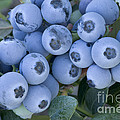 Early Blue Blueberries by Inga Spence