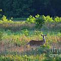 Early Morning Doe by Deanna Cagle