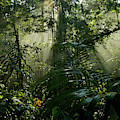 Early Morning Light In The Rain Forest by Tim Laman