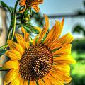 Early Morning Sunflower by Douglas Barnett