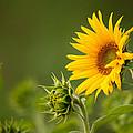 Early Morning Sunflowers by Bernard Lynch