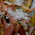 Early Snow On Rhododendron by Dave Zuker