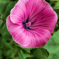 Early Summer Blooms Impressions - Bright Pink Malva - Vertical View by Georgia Mizuleva