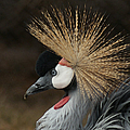 East African Crowned Crane 2 Painterly by Ernie Echols