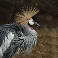 East African Crowned Crane Painterly by Ernie Echols