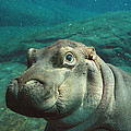 East African River Hippopotamus Baby by San Diego Zoo