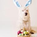 Easter Bunny Westie by Edward Fielding