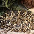 Easter Diamond Back Rattlesnake by Dwight Cook