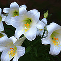 Easter Lilies by Bonnie Willis