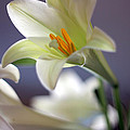Easter Lilly by Randy Wehner Photography