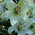 Easter Lily by David Neace