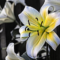 Easter Lily On Black by Dave Garner