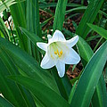Easter Lily by Robert Floyd