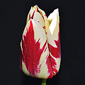 Easter Greetings - Twinkle Tulip by Felicia Tica