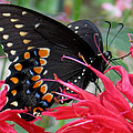 Eastern Black Swallowtail And Bee Balm by Melinda Marsh