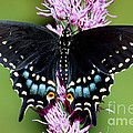 Eastern Black Swallowtail Butterfly by Millard Sharp