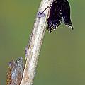 Eastern Black Swallowtail Metamorphosis by Millard H. Sharp