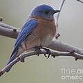 Eastern Blue Bird by Dale Powell