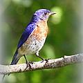 Eastern Bluebird - After His Bath by Travis Truelove
