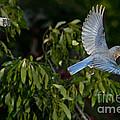 Eastern Bluebird by Anthony Mercieca