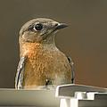 Eastern Bluebird Eye To Eye by Kathy Clark