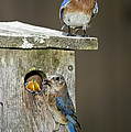 Eastern Bluebird Family by Anthony Mercieca