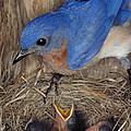 Eastern Bluebird Feeding Its Young by Millard H. Sharp
