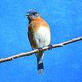 Eastern Bluebird II by Deena Stoddard