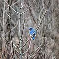 Eastern Bluebird by Art Dingo