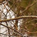 Eastern Bluebird Pair by Crystal Heitzman Renskers