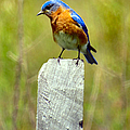 Eastern Bluebird Pose by Art Dingo